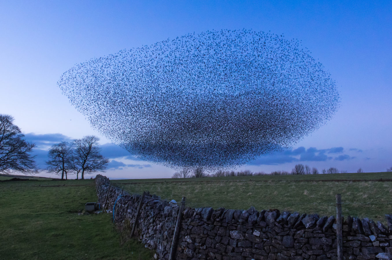 Starlings in collaboration